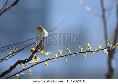 Willow Warbler is a very common and widespread leaf warbler which breeds throughout northern and temperate Europe and Asia from Ireland east to the Anadyr River basin in eastern Siberia.