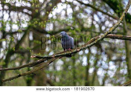 City pigeon sits on a branch in a spring forest.