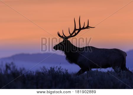 a big bull elk silhouetted at sunrise in Wyoming