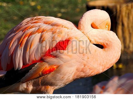 bashful pink Flamingo hiding his beak from view