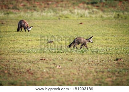 Two Bat-eared Foxes Walking In The Grass.