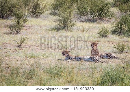 Two Cheetahs Laying In The Grass.