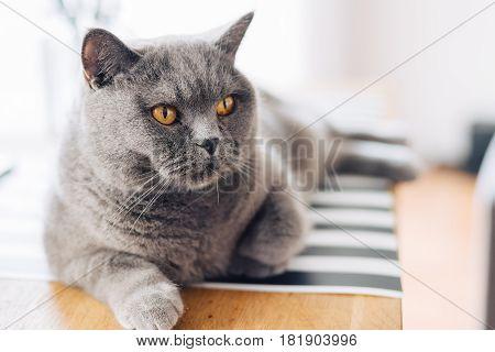 British Shorthair Grey Cat