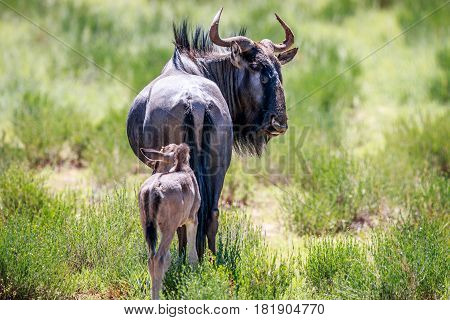 Blue Wildebeest With A Calf.