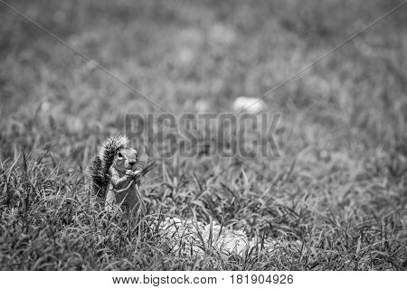 Ground Squirrel Eating Grass In Black And White.