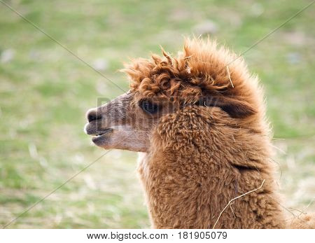Head of domesticated Llama - Lama guanicoe