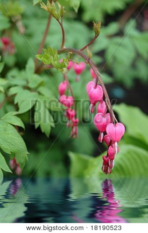 Dicentra (bleeding Heart) Reflecting In Water.