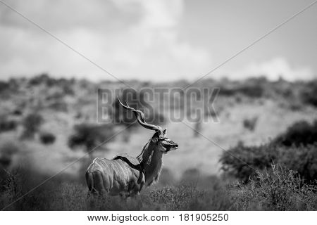 Kudu Standing In The Grass In Black And White.
