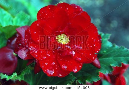 Red Begonia Too