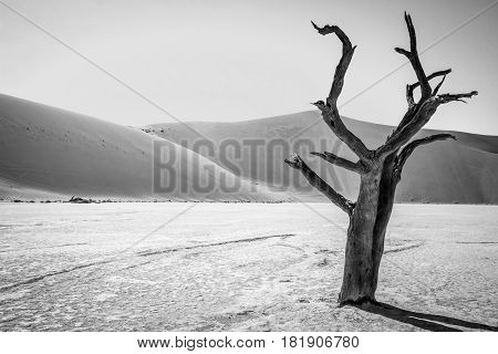 Dead Tree In Sussusvlei In Black And White.
