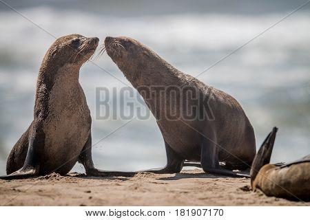 Two Bonding Cape Fur Seals.