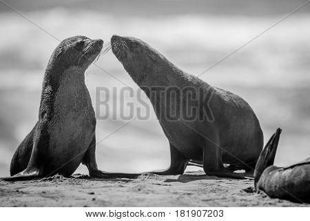 Two Bonding Cape Fur Seals In Black And White.