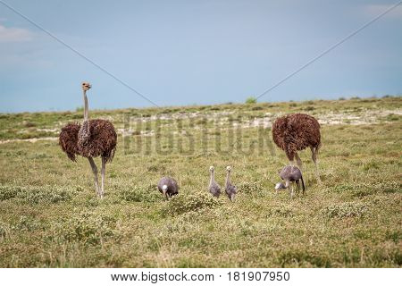 Family Of Blue Cranes With Two Ostriches.