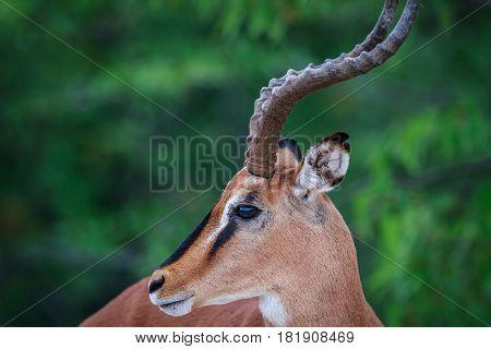 Side Profile Of A Male Black-faced Impala.