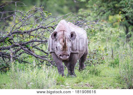 Black Rhino Starring At The Camera.