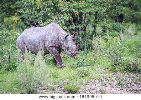 Young Black Rhino Calf Walking.