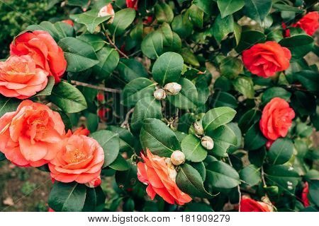 Pink camellia flowers on a bush in spring in Montenegro.
