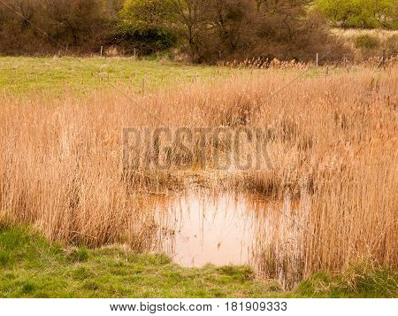 Reeds On The Lake On Windy Day. Yellow-brown Reeds In The Lake On Windy Day