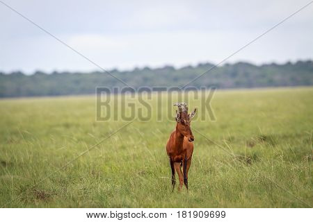 Red Hartebeest Starring At The Camera.