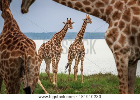 Two Giraffes Starring From Under Neck.