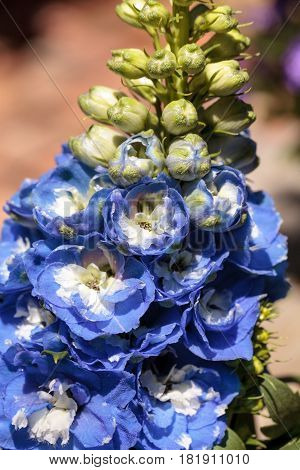 Blue larkspur flower called Delphinium in a botanical garden blooming in spring