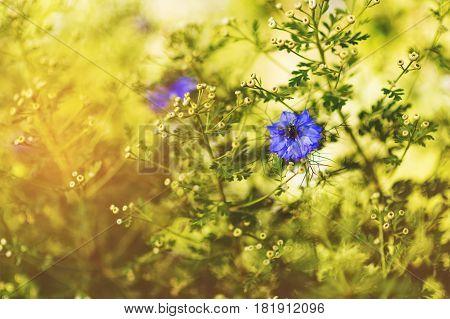 Blue cornflower flower or centaurea cyanus .