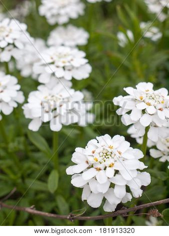 Beautiful White Flowers Nature And Peace, Looking Crisp And Clear In The Spring, On A Plant And Shru