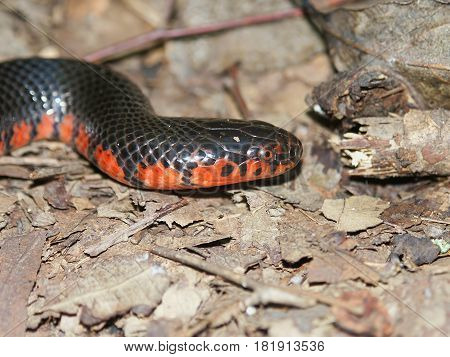 Mud Snake (Farancia abacura) found in the forests of southern Illinois