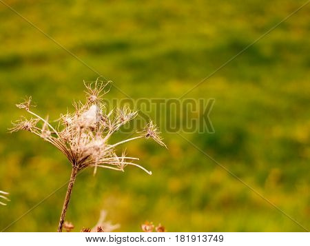 Dead Flower Heads Swaying in the Wind on A Field