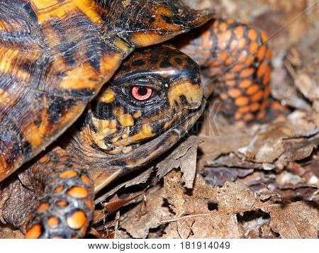 Box Turtle (Terrapene carolina) waling through a woodland of southern Illinois
