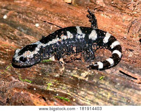 Marbled Salamanders (Ambystoma opacum) have striking patterns and can be found throughout the eastern and southern United States.