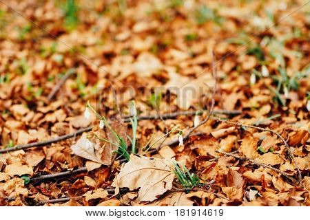 Snowdrops in dry autumn leaves. One snowdrop. Spring flowers in Montenegro.