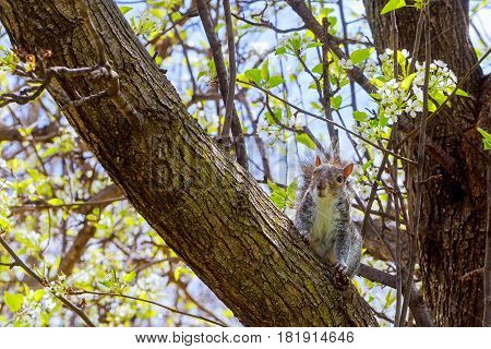 gray squirrel sitting on the tree Grey squirrel sitting on a tree branch.