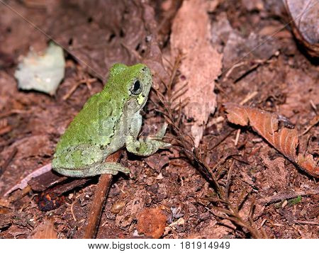 Bird-Voiced Treefrog (Hyla avivoca) inhabiting the forests of southern Illinois