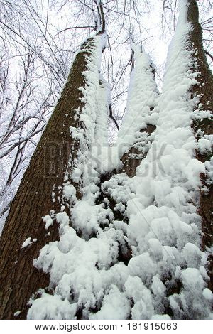Snow clings to forest trees at Rock Cut State Park in Illinois.