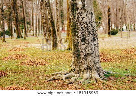Mighty roots of trees. Trees in the autumn forest.