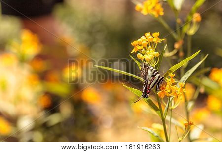 Zebra Swallowtail Butterfly, Eurytides Marcellus