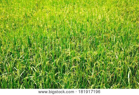 Rice field in Sri lanka, ceylon paddy plantation