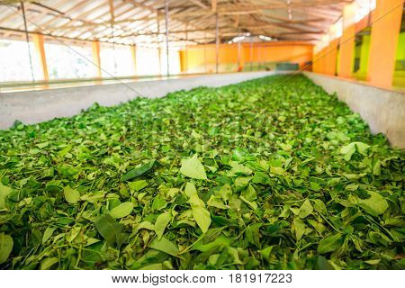Ceylon tea leaves drying process