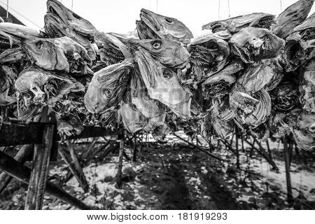 Traditional outdoor drying Norwegian cod. Black-white close-up photo.