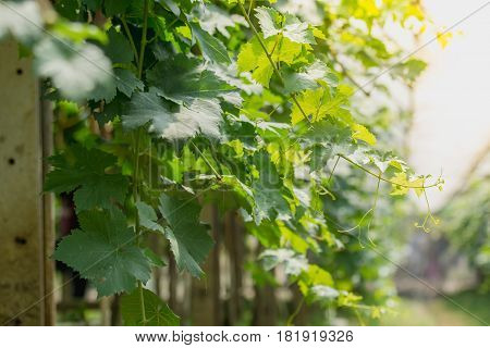 Close up vine of grapes in agricultural garden