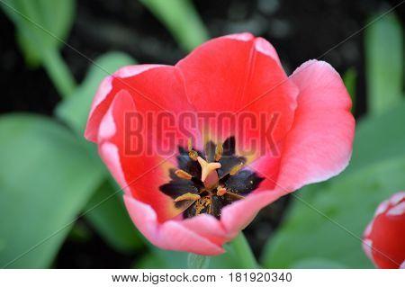 Pink tulip flowers growing in the garden