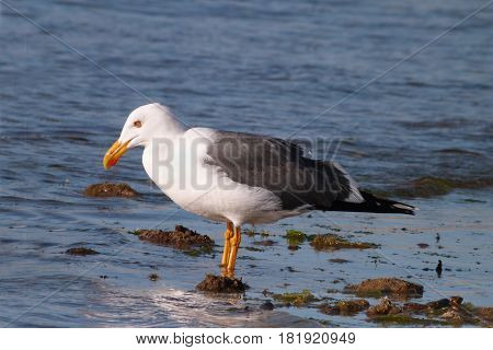 A Yellow-footed Gull in shallow water in the Sea Of Cortez off Mexico