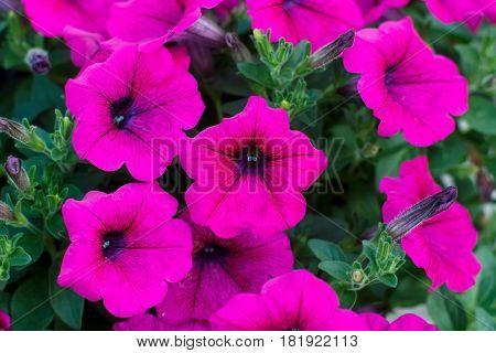 Beautiful Red Petunias (Petunia hybrida) in garden soft focus