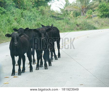 Cows on the road, Rota, Northern Mariana Islands Cows blocking the road is a common sight in the island of Rota, Northern Mariana Islands.