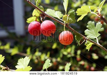 Ripe red gooseberries dangle from a gooseberry bush (Ribes uva-crispa) in a garden in Joliet, Illinois during July.