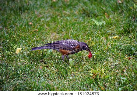 A young American robin (Turdus migratorius) eats the fruit of a cherry on a lawn in Joliet, Illinois during July.
