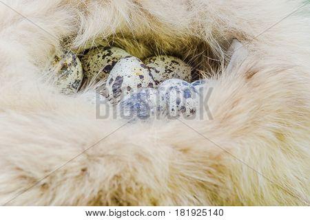 Quail eggs in a brown wool Easter
