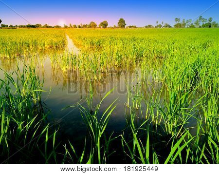 rice field and evening background in Thailand.