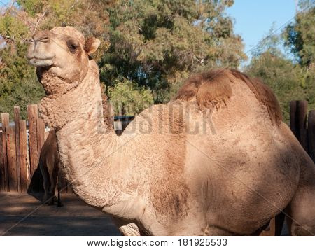Dromedary Camel native of North Africa and Middle East